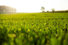 Fresh spring grass with drops Royalty Free Stock Photo