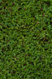 Fresh spring grass. Green leaf. Natural background texture. Ideal for use in the design fairly. Fresh spring grass. Green leaf. Natural background texture Royalty Free Stock Images