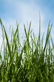 Fresh spring grass in the morning Stock Image