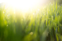 Fresh spring grass in the morning Stock Photo