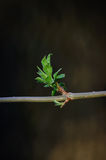 Fresh spring green bud Stock Photo