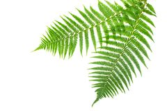 Fresh spring green fern Stock Image