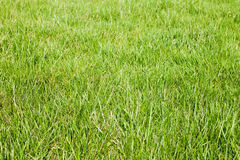 Fresh-spring-green-grass Stock Image