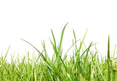 Fresh-spring-green-grass Royalty Free Stock Images