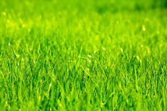 Fresh spring green grass Royalty Free Stock Photo