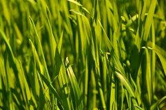 Fresh spring green grass close up Royalty Free Stock Photography