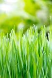 Fresh spring green grass Royalty Free Stock Image