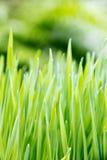 Fresh spring green grass Royalty Free Stock Photos