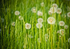 Fresh spring green grass and dandelions Stock Photos