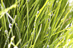 Fresh spring green grass with dew isolated Stock Image
