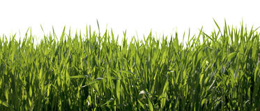 Fresh spring green grass isolated Stock Photography