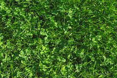 Fresh spring green grass texture Royalty Free Stock Photography
