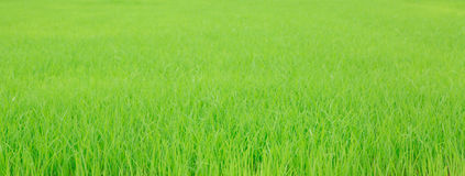 Fresh spring green grass  with water drops. Royalty Free Stock Images