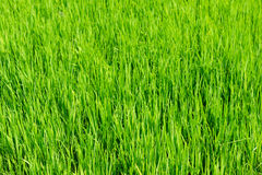 Fresh spring green grass, young greens of rice Royalty Free Stock Photography