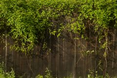 Fresh spring green leaf plant over wood fence background. stock images