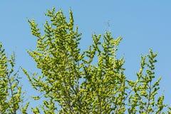 Fresh Spring Green Leaves Blossom Stock Photo