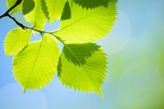 Fresh Spring Green Leaves Over Bright Background Royalty Free Stock Image