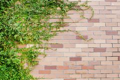 Fresh spring green leaves plant over brick wall background Royalty Free Stock Photos