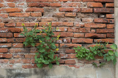 Fresh spring green leaves plant over brick wall background. Old and damaged brick wall Stock Image