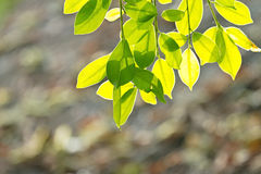 Fresh spring green leaves Royalty Free Stock Images