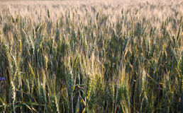 Fresh spring green and yellow wheat field ears Royalty Free Stock Photography
