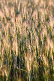 Fresh spring green and yellow wheat field ears Stock Photography