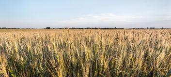 Fresh spring green and yellow wheat field ears Royalty Free Stock Photo
