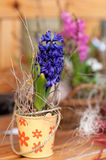 Fresh spring Hyacinth Royalty Free Stock Photo