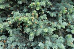 Fresh spring leafage of Picea pungens. Tree Royalty Free Stock Photography
