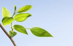 Fresh spring leafage on tree royalty free stock image