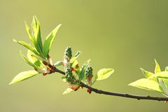 Fresh spring leaves. On a branch outdoors Royalty Free Stock Photos