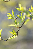 Fresh spring leaves. On a branch outdoors Stock Image