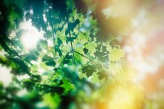 Fresh spring leaves - beautiful nature in forest. In spring Royalty Free Stock Images