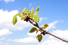 Fresh spring leaves Royalty Free Stock Photos