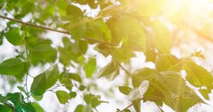 Fresh Spring Leaves on the Blurred Sky with Flickering Sun Background. Warm Color Grading stock footage