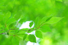 Fresh Spring Leaves with Bokeh Stock Photos