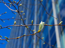 The Fresh spring leaves in a city Royalty Free Stock Photos