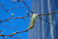 Fresh spring leaves in the city Stock Image