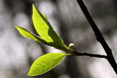 Fresh spring leaves Royalty Free Stock Photography