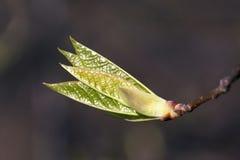 Fresh spring leaves Stock Image