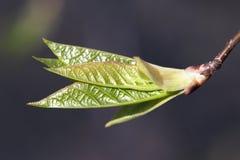 Fresh spring leaves Stock Images
