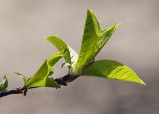 Fresh spring leaves Stock Photo