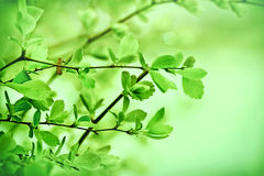 Fresh spring leaves Stock Photo