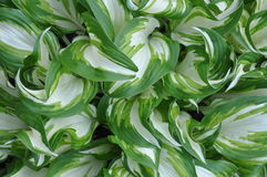 Fresh spring leaves of hostas plant Stock Photography