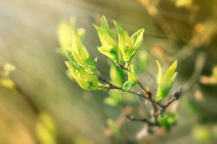 Fresh spring leaves illuminated with sun rays Royalty Free Stock Photo