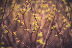 Fresh spring leaves Royalty Free Stock Image