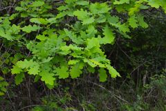 Fresh spring leaves on oak tree Stock Photography