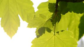 Fresh spring leaves with sun backlit closeup stock video