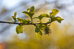 Fresh spring leaves and willow catkin Stock Photos