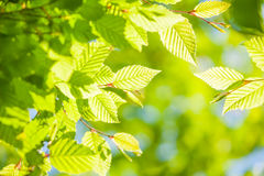 Fresh spring leaves Royalty Free Stock Images